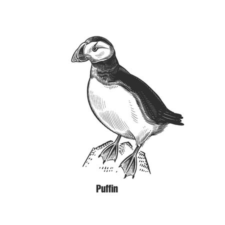 Puffin. Exotic bird. Black sketch of animal on a white background. Vintage engraving. Vector illustration. Isolated image. Wildlife. Natural motive. Animal world.  イラスト・ベクター素材