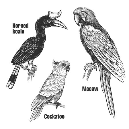 Birds parrots set. Tropical birds. Macaw, Cockatoo and Horned koalo. Black sketch of animals on a white background. Vintage engraving. Vector illustration. Isolated images. Wild life. Natural motive.
