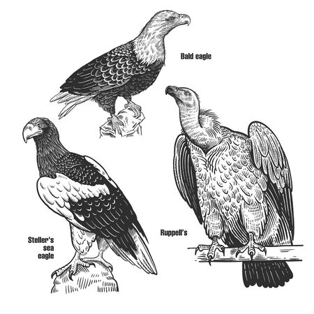 Birds set. Predatory birds. Bald eagle, Steller's sea eagle and Ruppell's. Black sketch of animal on a white background. Vintage engraving. Vector illustration. Isolated images. Wildlife. Nature