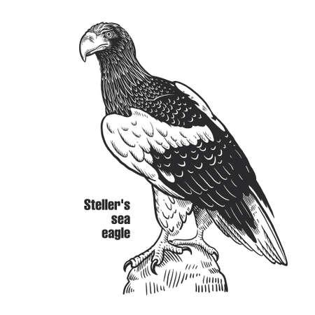 Steller's sea eagle. Predatory bird. Black sketch of animal on a white background. Vintage engraving.  イラスト・ベクター素材