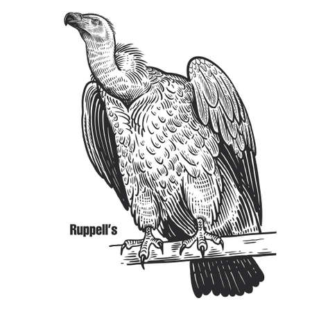 Ruppell's. Griffon vulture. Predatory bird. Black sketch of animal on a white background. Vintage engraving.  イラスト・ベクター素材