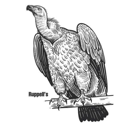 Ruppell's. Griffon vulture. Predatory bird. Black sketch of animal on a white background. Vintage engraving. Иллюстрация