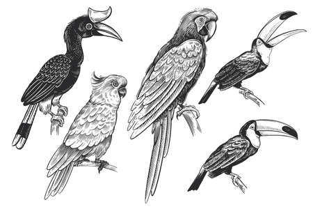 Set of tropical birds. Toucans, parrots and cockatoos. The image is isolated on a white background. Vector illustration. Vintage engraving. Wild life. Exotic nature. Black and white sketch.