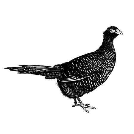 Pheasant isolated on a white background. Domestic bird. Farm animals series. Vector illustration of poultry. Black and white graphics. Vintage sketch.  イラスト・ベクター素材