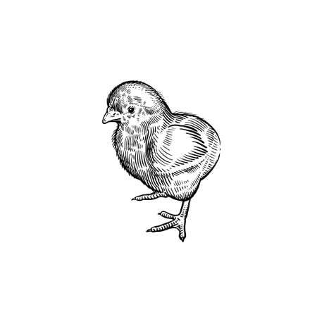 Little cute chicken isolated on white background. Domestic bird. Vector illustration of poultry. Black and white graphics. Vintage sketch.