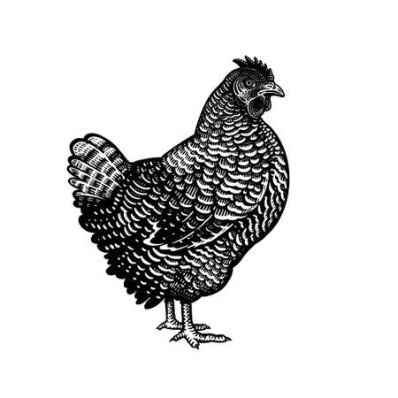 Chicken isolated on a white background. Domestic bird. Farm animals series. Vector illustration of poultry. Black and white graphics. Vintage sketch of hen.  イラスト・ベクター素材