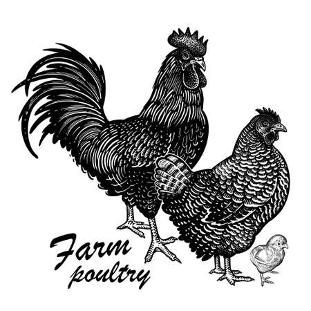 Chicken, rooster and hen isolated on a white background. Domestic bird. Farm animals series. Vector illustration of poultry. Black and white graphics. Vintage sketch.