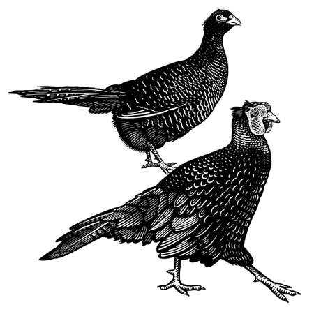Two pheasants isolated on a white background. Domestic bird. Farm animals series. Vector illustration of poultry. Black and white graphics. Vintage sketch.  イラスト・ベクター素材