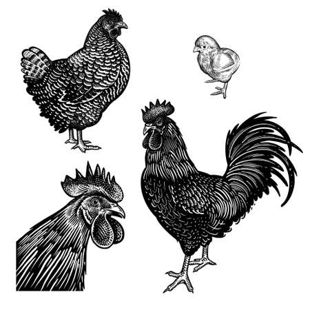 Chicken, rooster, hen and and cock head closeup isolated on a white background. Domestic birds. Farm animals series. Vector illustration of poultry. Black and white graphics. Vintage sketch.
