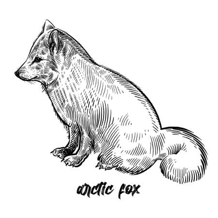 Arctic fox or polar fox. Animal wild. Vintage engraving style. Vector art illustration. Black graphic isolate on white background. The object of wildlife. Hand drawing. Sketch predator.  イラスト・ベクター素材