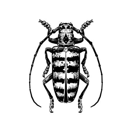 Beetle. Decorative insect isolated on white background. Black and white sketch. Realistic drawing of bug. Vector illustration art. Vintage.