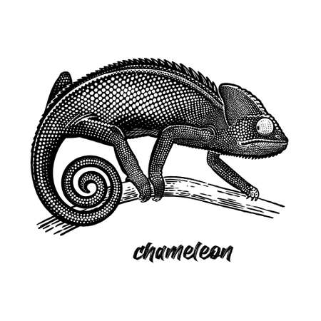 Chameleon on a tree branch. Vintage engraving style. Vector art illustration. Black graphic isolate on white background. Object of wildlife. Hand drawing. Sketch of Lizard.