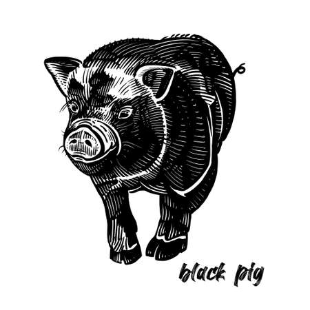 Black pig. Farm animal. Cute piglet. Graphics handmade drawing. Vintage engraving style. Nature. Sketch. Black and white isolate. Vector illustration of pet