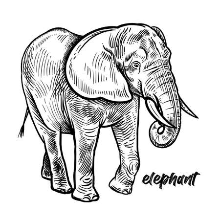 Elephant. Animal of Africa or India. Vintage engraving style. Vector art illustration. Black graphic isolate on white background. The object of wildlife. Hand drawing. Sketch herbivore.