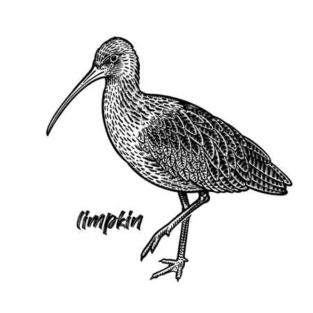 Ibis. Limpkin bird. Vintage engraving style. Vector art illustration. Black graphic isolate on white background. Object of wildlife. Hand drawing. Sketch.