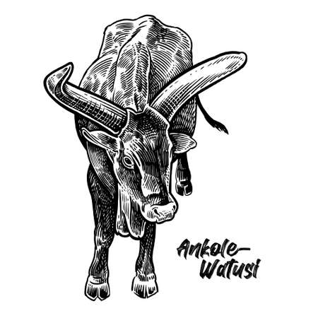 Cow. Farm animal Ancole-Watusi. Graphics handmade drawing. Vintage engraving style. Nature. Sketch. Black and white isolate. Vector illustration of cattle.  イラスト・ベクター素材