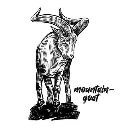 Mountain goat with big horns. Animal wild. Vintage engraving style. Vector art illustration. Black graphic isolate on white background. The object of wildlife. Hand drawing. Sketch herbivore.