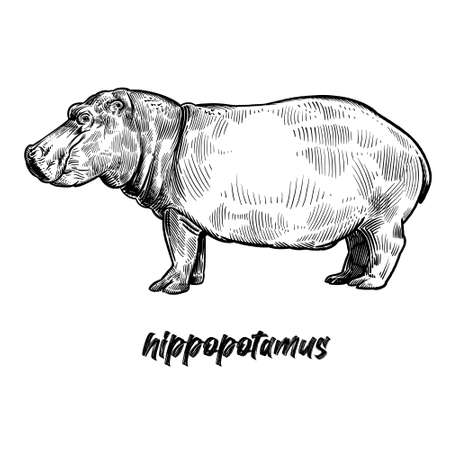 Hippopotamus. Animals of Africa series. Vintage engraving style. Vector art illustration. Black graphic isolate on white background. Object of wildlife. Hand drawing hippo. Sketch predator behemoth.