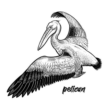 Pelican. Waterfowl. Official State Bird of Louisiana. Vintage engraving style. Vector art illustration. Black graphic isolate on white background. Object of wildlife. Hand drawing. Symbol bird sketch