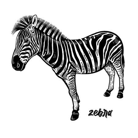 Zebra. Animals of Africa series. Vintage engraving style. Vector art illustration. Black graphic isolate on white background. The object of wildlife. Hand drawing. Sketch herbivore.