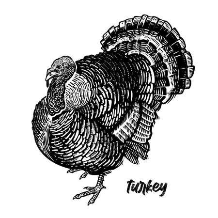 Turkey. Farm bird. Graphics handmade drawing. Vintage engraving of poultry. Nature Sketch. Isolated black fowls image on white background. Vector illustration of bird. 向量圖像