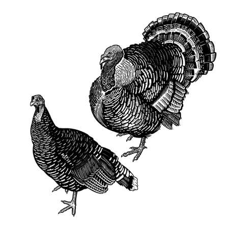 Two turkeys. Farm bird. Graphics handmade drawing. Vintage engraving of poultry. Nature Sketch. Isolated black fowls image on white background. Vector illustration of birds.