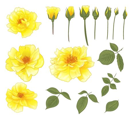 yellow rose flower in a set with step-by-step blooming