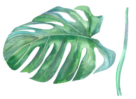 natural green monstera leaf and stem painted with watercolors