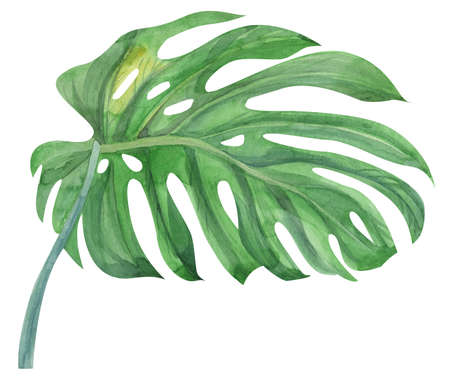 realistic green monstera leaf and stem painted with watercolors