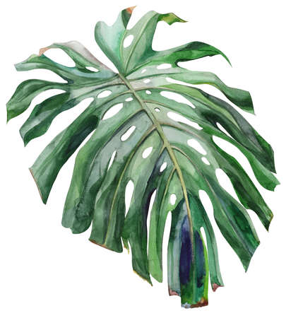 watercolor painted monstera leaf isolated on white