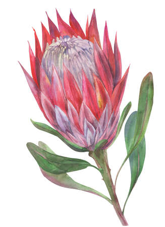 pink protea flower painted in watercolor isolated on white