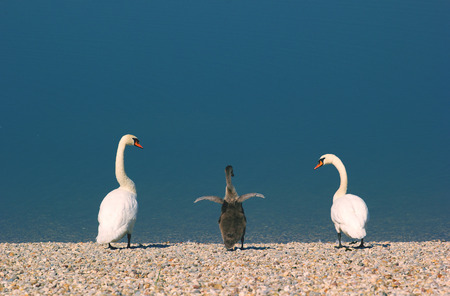 ugly duckling: Swan family, two white adult swans and one grey baby swan