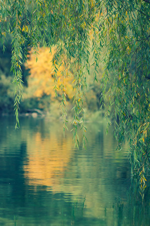 reflecting: Willow tree branches reflecting in water