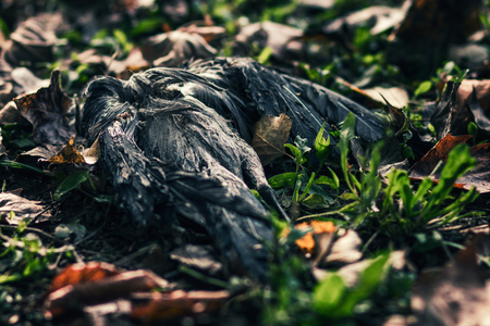 death and dying: Dead black bird lying in the grass
