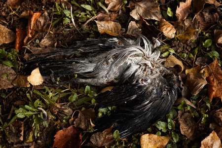 life and death: Dead grey and black bird, crow, lying in the grass and fallen leaves