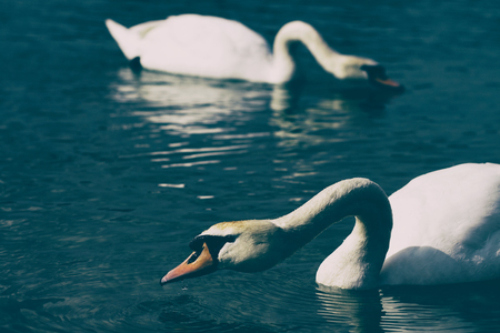 Couple of swans searching for food in a blue lake