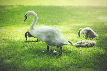 cygnet: Mother and baby swans resting on a green meadow in a park