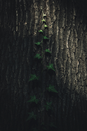 Tree trunk with ivy, in dark forest with just one ray of light across the tree Stock fotó