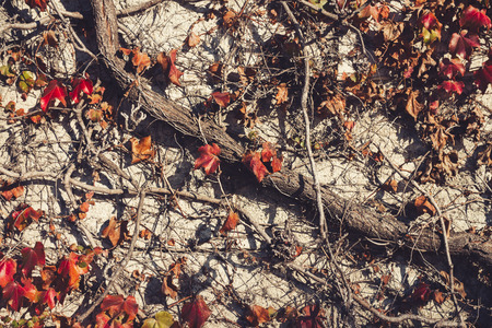 Red leaves and old, dry branches covering wall Stock Photo