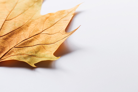 Single dry autumn leaf on a white background with shadow underneath