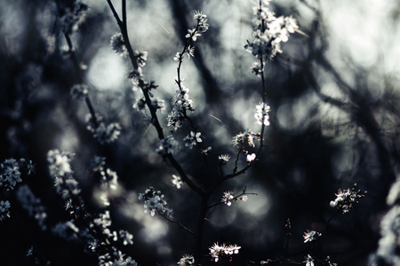 Tree branches covered in white spring blossoms, light coming through dark spots, very shallow dof