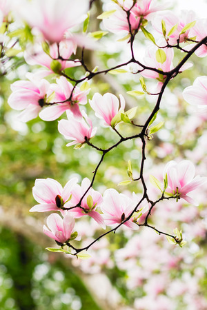 Magnolia branches with green leaves in full bloom Stock Photo - 100461751