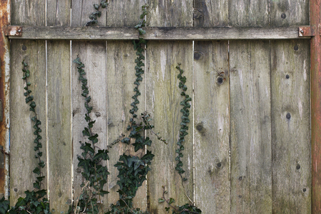 Old wooden fence wit some ivy vine creeping up Stock Photo - 101134855