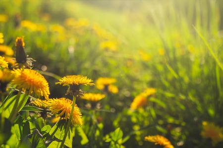 Yellow dandelions in sunny field of grass Stock Photo - 102507015