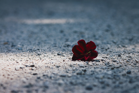Lonely, thrown away, dark red flower lying on the gravel path in sunlight spot Stock Photo - 102930154