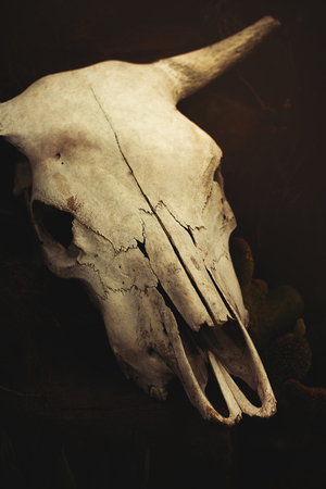 Cow skull Stock Photo - 102944760