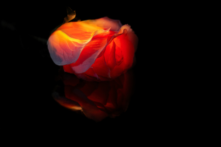 Illuminated red rose that looks like it's burning on a dark black background with little reflection Stock Photo - 105071421