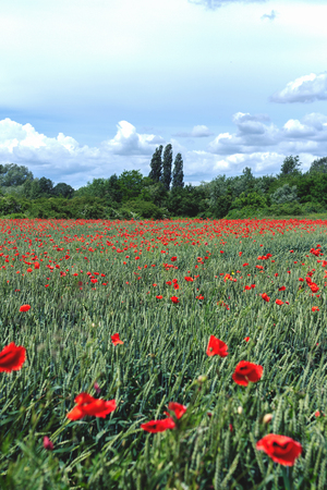 Green field full of red poppy flowers, with beautiful blue sky with clouds in the distance Stock Photo - 105940103