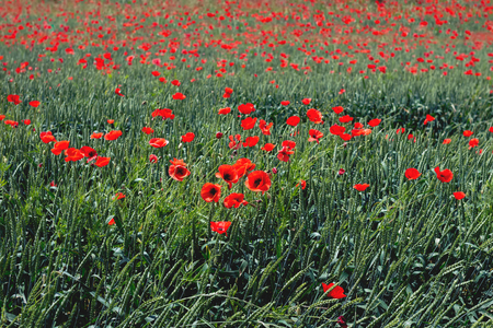 Green field full of red poppy flowers Stock Photo - 105940105