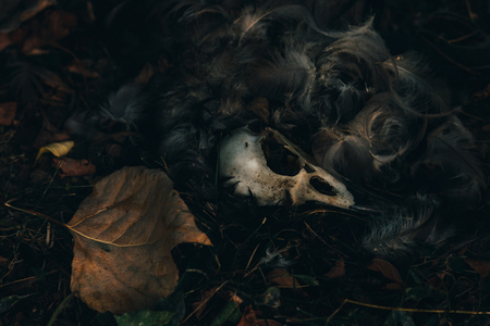 Dead bird skull lying in the grass with fallen leaves and feathers
